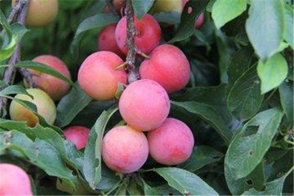 李子是什么季节的水果 李子的营养价值