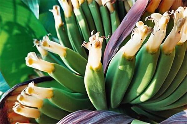 香蕉花的功效与作用是什么 香蕉花有什么功效