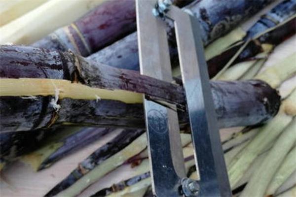 甘蔗皮属于什么垃圾 甘蔗皮是干垃圾还是湿垃圾