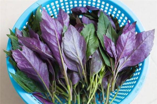 红凤菜是红苋菜吗 红凤菜和红苋菜区别