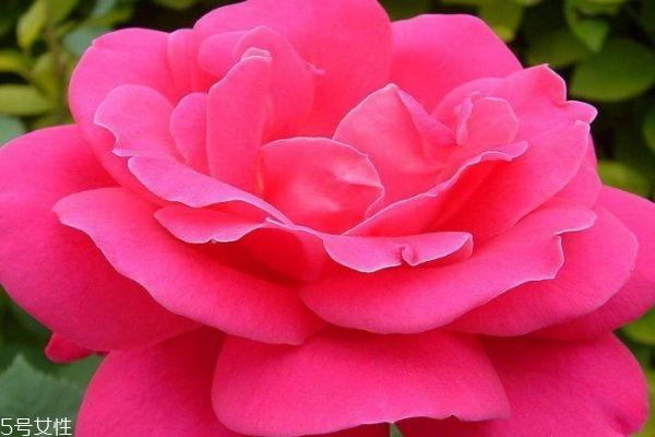 月季花有什么作用呢 月季花的花语是什么呢