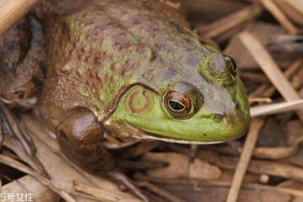 牛蛙是什么蛙呢 牛蛙有什么功效呢
