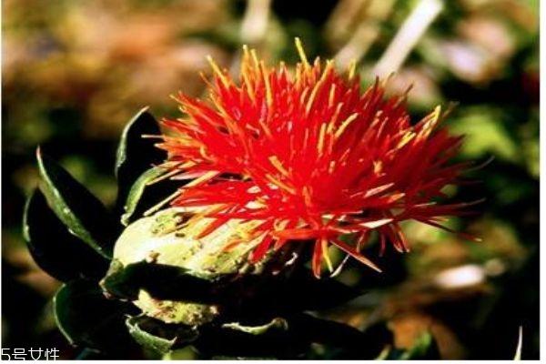 什么是藏红花呢 藏红花有什么作用呢