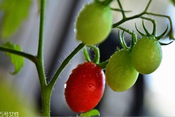 什么是圣女果呢 圣女果有什么营养价值呢