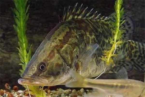 桂鱼和鲑鱼是一种鱼吗 桂鱼和鲑鱼的区别
