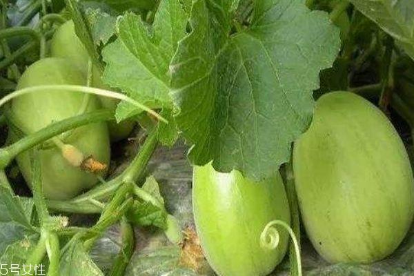 什么是梨瓜呢 梨瓜有什么营养价值吗
