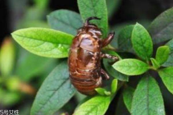 金蝉有什么用呢 金蝉的功效有什么呢