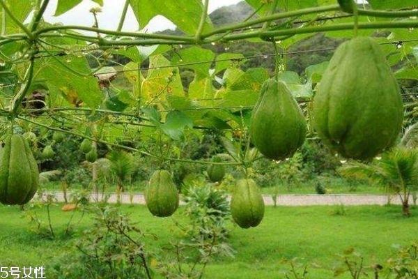 佛手瓜一般成熟在几月呢 佛手瓜一般生长在什么环境里呢