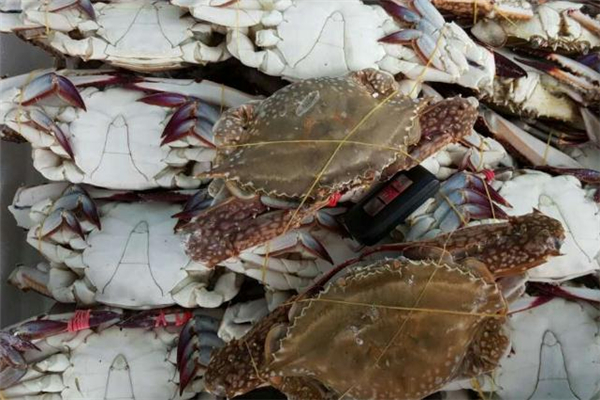 梭子蟹公母怎么区分 梭子蟹公的好吃还是母的