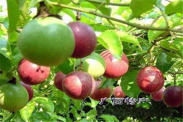 百香果吃多了有害处吗 百香果一天可以吃多少