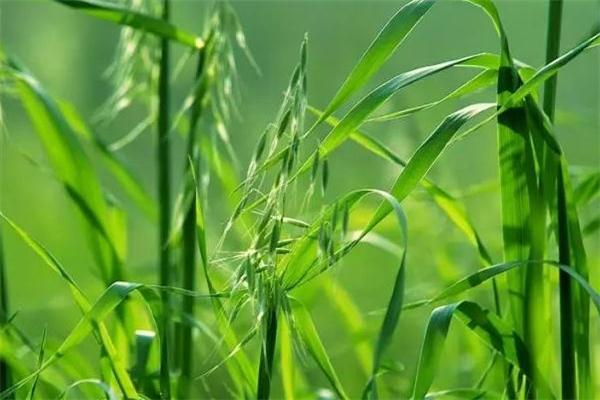 野燕麦是什么 野燕麦的功效与作用
