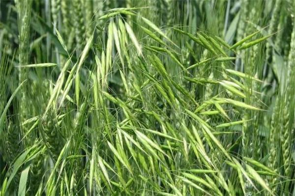 野燕麦真的能壮阳吗 野燕麦有用吗
