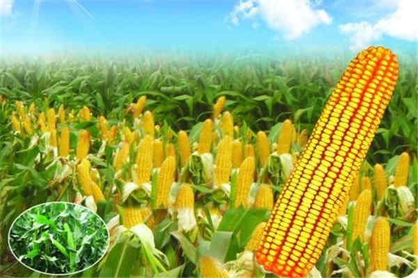 玉米是碳水化合物吗 玉米的好处是什么