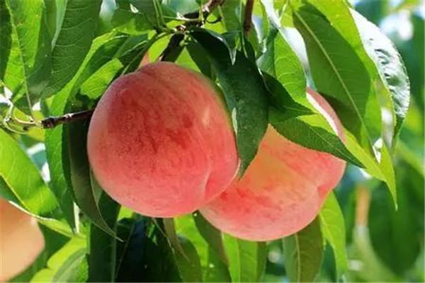桃子是不是上火的 桃子是上火的食物吗