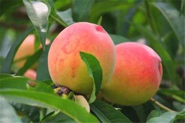 桃子一天吃几个好 桃子最好是不要多吃