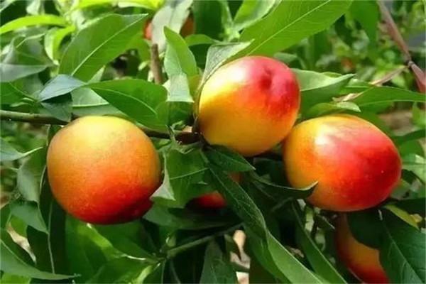 桃子是凉性的吗 桃子是发物要少吃
