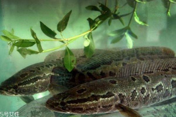 什么是黑鱼呢 黑鱼有什么营养价值呢