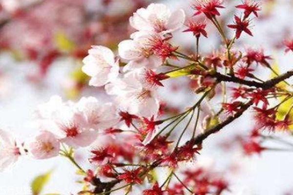 樱花盛开在几月份呢 樱花有什么作用呢