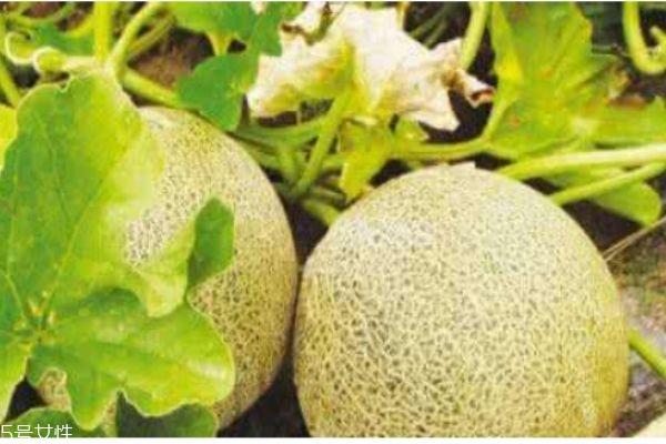 白兰瓜生在什么地方呢 白兰瓜一般几月份成熟呢