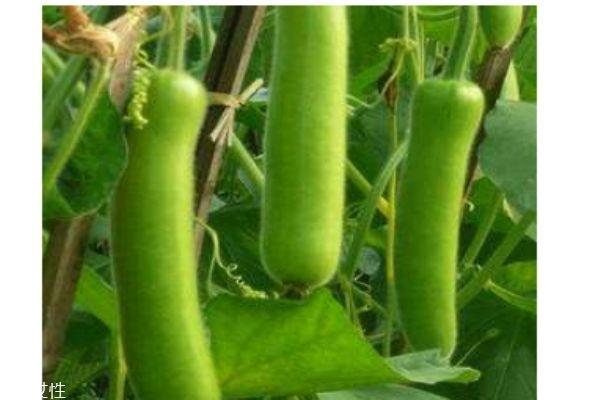 瓠瓜有什么营养价值呢 瓠瓜生活在什么环境里呢
