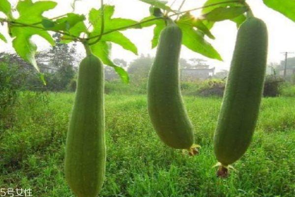 吃丝瓜有什么注意事项呢 什么人群不能吃丝瓜呢