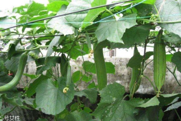 什么是水瓜呢 水瓜有什么作用呢