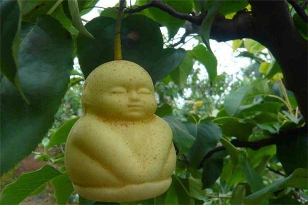 人参果里面的囊能吃吗 人参果的果皮可以吃吗