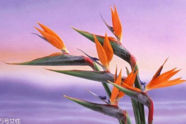 天堂鸟的寓意是什么呢 天堂鸟的市场价格是怎么样的呢