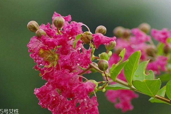 紫薇花是一种什么花呢 紫薇花有什么作用呢