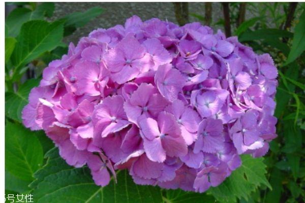 什么是八仙花呢 八仙花有什么作用呢