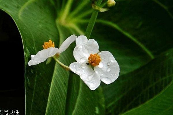 什么是慈菇花呢 慈菇花有什么作用呢