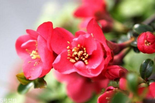 海棠花生长在什么环境里呢 海棠花主要分布在哪里呢
