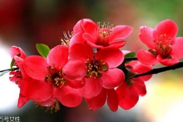 海棠花有什么寓意呢 海棠花的市场价格是怎么样的呢