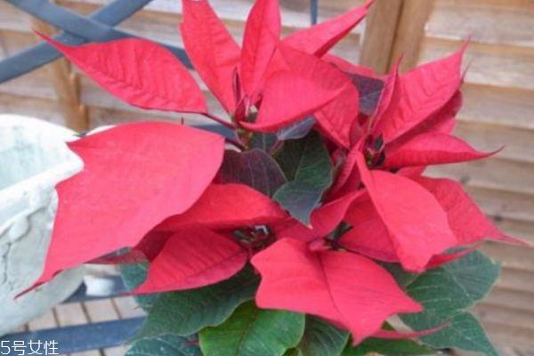一品红有什么寓意呢 一品红是几月份开花呢