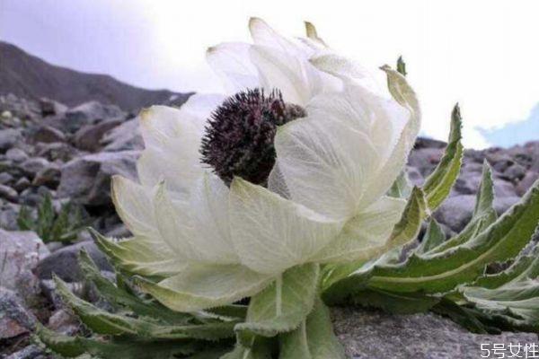 天山雪莲花是什么 天山雪莲花的功效与作用