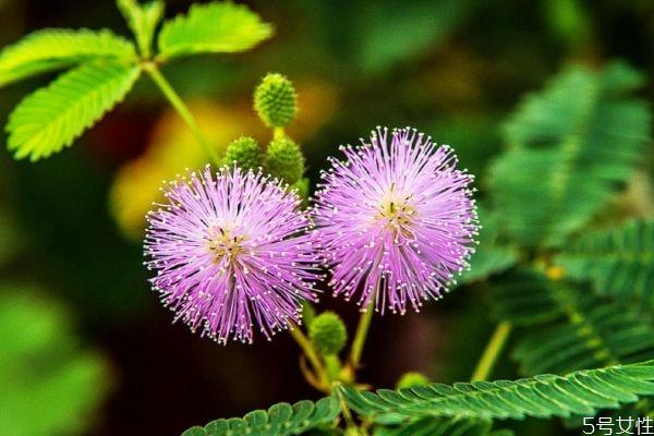 什么是含羞草呢 含羞草有什么作用呢