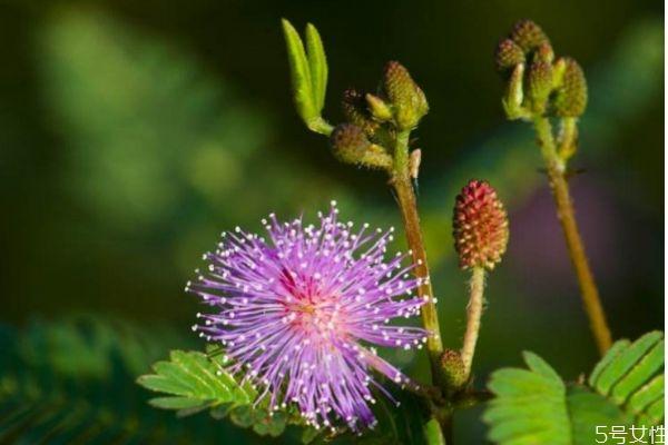 含羞草的花语是什么呢 含羞草开花是几月份呢