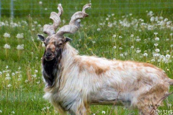 什么人群不能吃山羊角呢 吃山羊角有什么作用呢