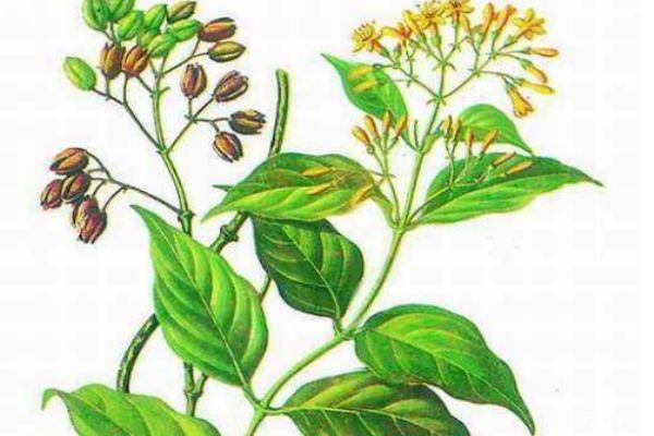 什么人群不能吃大茶药呢 吃大茶药会中毒吗