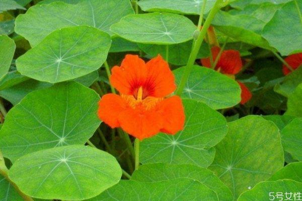 什么是旱金莲呢 旱金莲是一种什么植物呢