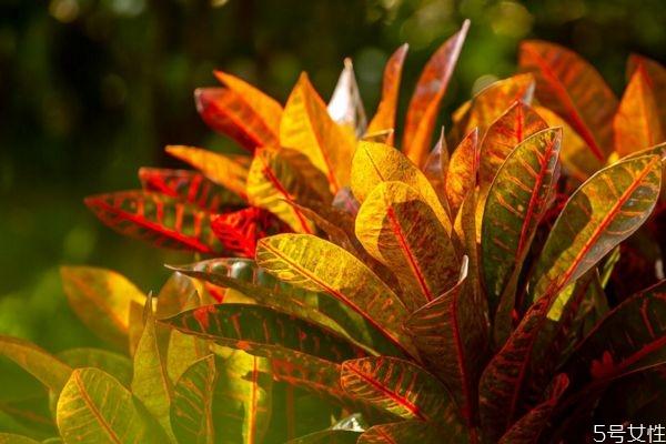 变叶木的花语是什么呢 变叶木的种植要注意什么呢