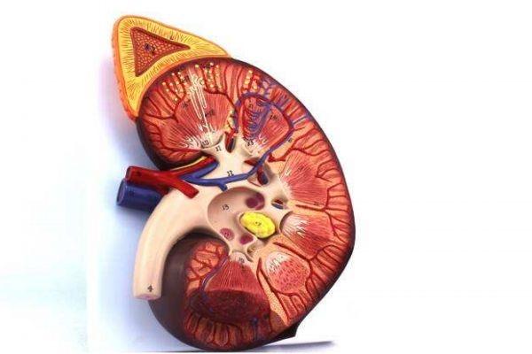 什么是肾衰竭呢 肾衰竭有什么危害呢