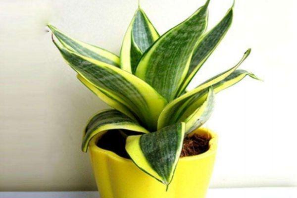 虎尾兰的花语是什么呢 虎尾兰的种植有什么注意的呢