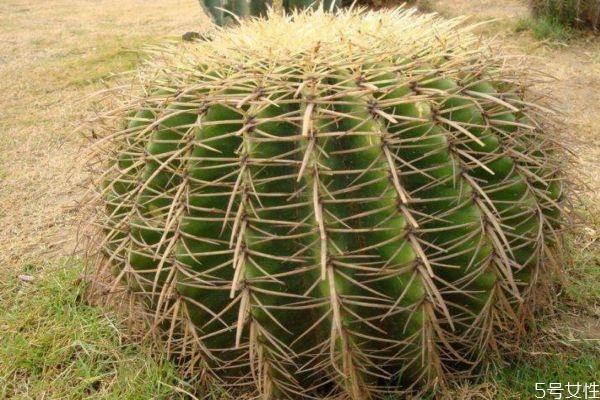 仙人掌可以净化空气吗 仙人掌的生长环境是怎么样的呢
