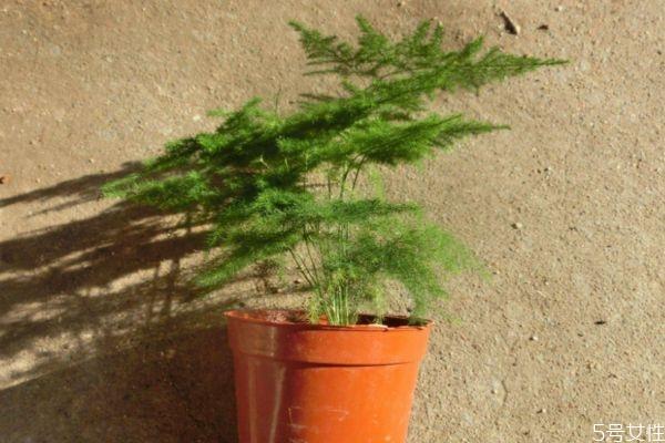 文竹的花语是什么呢 文竹的种植有什么注意呢