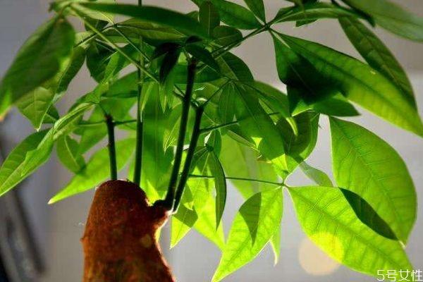 什么是发财树呢 发财树有什么作用呢
