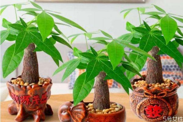 发财树好养吗 发财树的寓意是什么呢