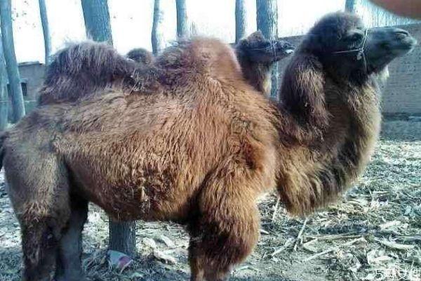 骆驼肉好吃吗 骆驼肉可以怎么吃呢
