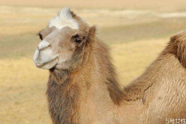 什么是骆驼呢 骆驼生长在什么环境下呢