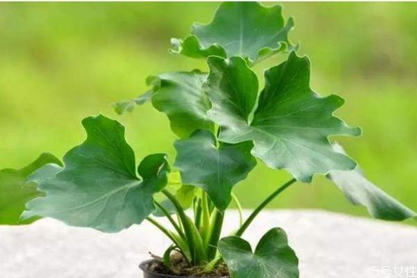 春羽的花语是什么呢 春羽的种植要注意什么呢